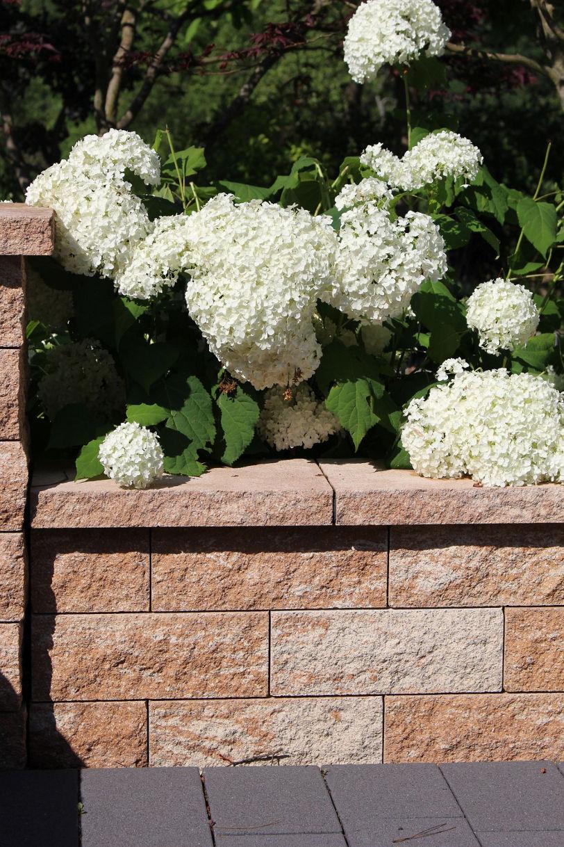 Mauer und weißblühende Hortensie.